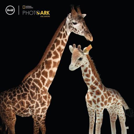 Magda Masai giraffe 2.jpg